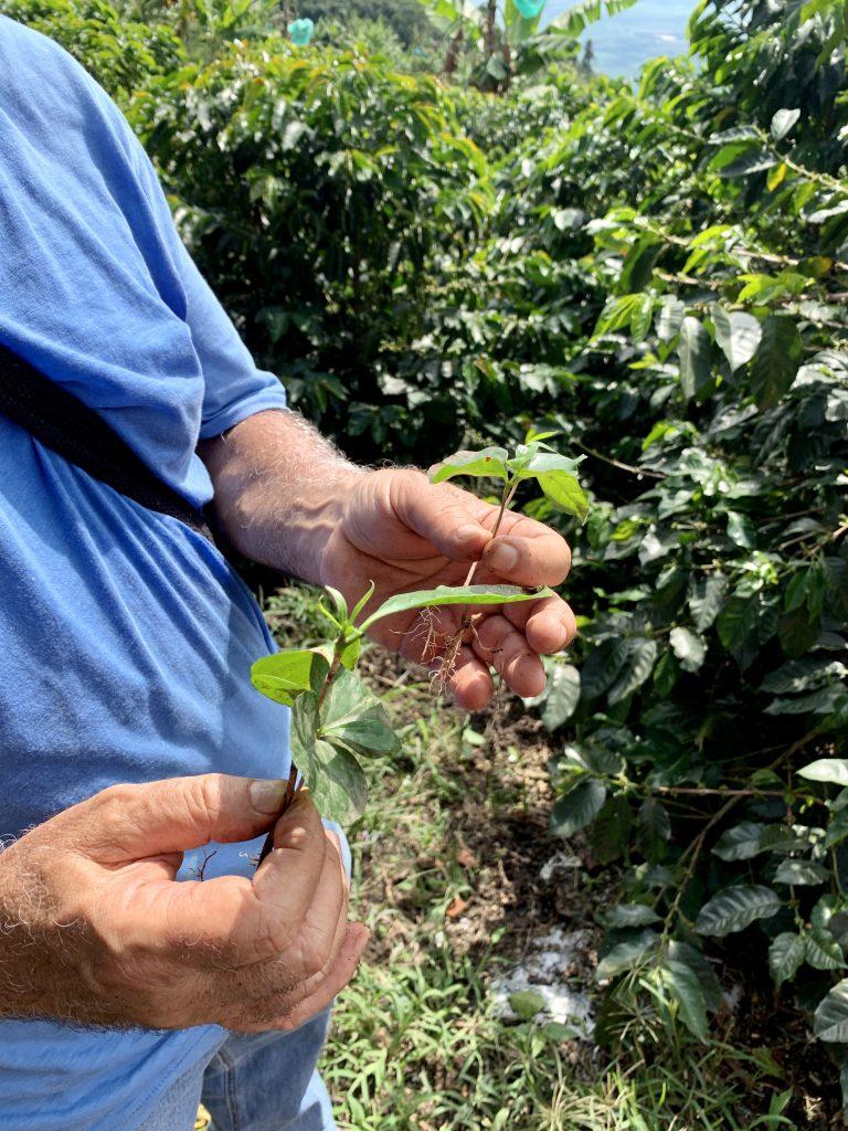 Don Gustavo, koffie zaailingen