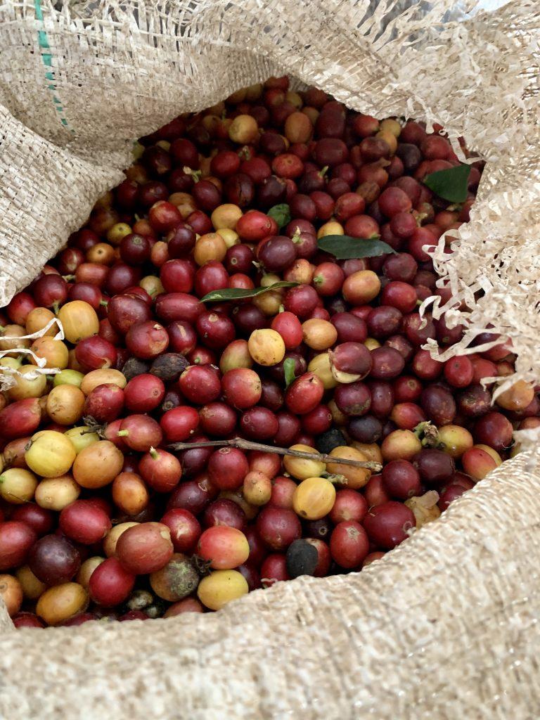 Caturra koffiebessen